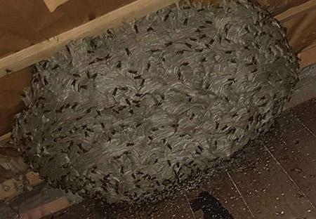 Neutralisation et retrait de nid de guêpes à Solesmes