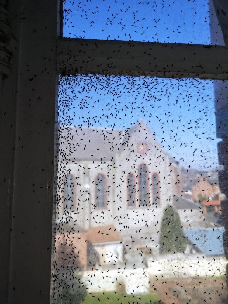 Infestation de mouches cambrai